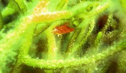 juvenile lump fish, fox point nova scotia jan 2005 by Christopher Hamilton