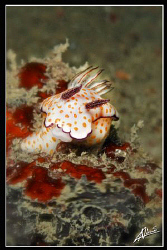Chromodoris Kunei on Thai Muang Wreck (Premchai 103) by Adriano Trapani