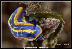 Hypselodoris tricolor by Marcello Di Francesco