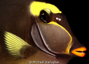 Unicornfish close-up portrait, Komodo, Indonesia by Michael Gallagher