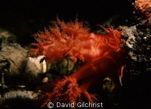 Oral Tentacle, Sea Cucumber sp.-Resolute Bay, Nunavut-Can... by David Gilchrist