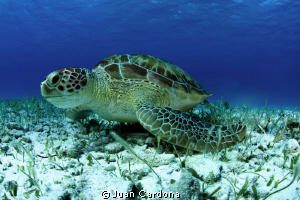 sea turtle in cancun by Juan Cardona