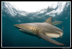 Oceanic blacktip by Dray Van Beeck