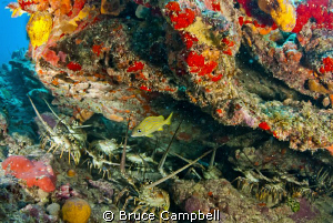 These lobsters were hiding under the overhang by Bruce Campbell