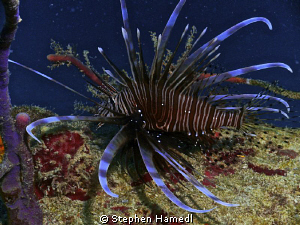 Lionfish by Stephen Hamedl