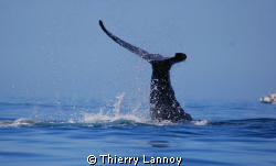 Humpback whale in Cabo Pulmo National Park, Baja Sur, Mexico by Thierry Lannoy