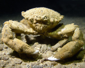 A very unfriendly looking sponge crabe caught beside the ... by Rylan Stewart