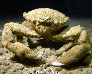 A very unfriendly looking sponge crabe caught beside the ... by Rylan Stewart