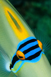 Picasso Triggerfish by Paul Colley