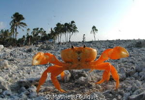 another kung-fu style crab. Clipperton atoll by Mathieu Foulquié