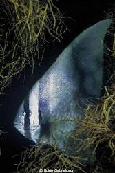 Batfish hiding... by Roine Gabrielsson