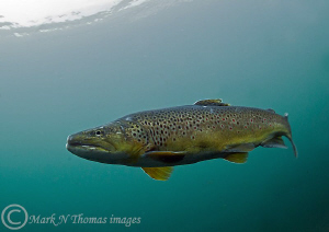 Brown trout. D3 15mm. by Mark Thomas