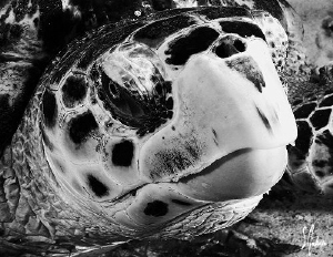 This Hawksbill Turtle was a bit lazy as I swam up to him ... by Steven Anderson