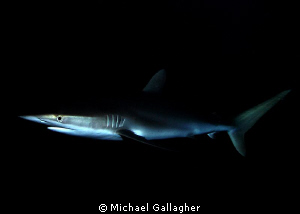 Silky shark at night in the Sudanese Red Sea - dual strob... by Michael Gallagher