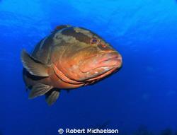 Grouper at Cayman Brac by Robert Michaelson