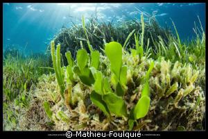 seagrasses by Mathieu Foulquié