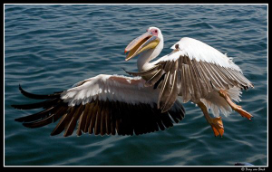 Pelican up close and personal... by Dray Van Beeck