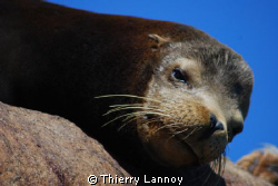 Male Sea Lion in Cabo Pulmo Marine Reserve, Baja Californ... by Thierry Lannoy