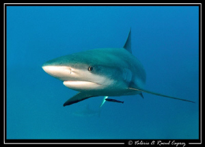 A curious one approaching (Carcharhinus perezi) by Raoul Caprez