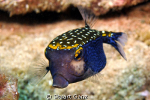 Lil blue box fish by Stuart Ganz