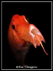 Trumpetfish at Lembeh, Indonesia by Ken Thongpila