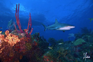 An interested Reef Shark appears from the blue as the She... by Steven Anderson
