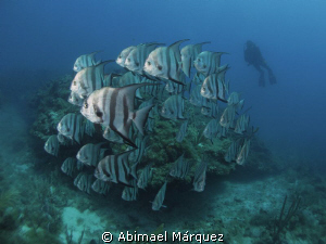 School of Atlantic Spadefish, Vieques, P.R. by Abimael Márquez
