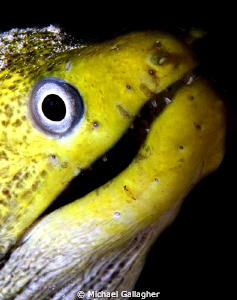 Green Moray Eel portrait, taken at night in the Red Sea, ... by Michael Gallagher