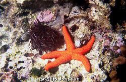 Starfish and sea urchin by Wiljo Jonsson
