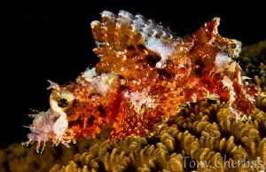 Juvenile Scorpionfish by Tony Cherbas