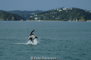 Dolphins playing in the Bay of Islands, NZ by Pete Devereux