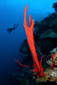 Red sponge and diver by Paul Colley