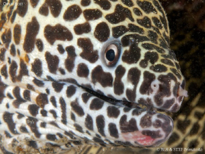 Moray eel portrait VI (Gymnothorax favagineus). by Bea & Stef Primatesta