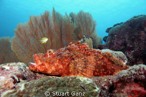 Tritan scorpion fish laying in wait. by Stuart Ganz