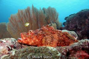 Tritan scorpion fish laying in wait. by Stuart Ganz