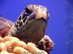 wise look,... green sea turtle in ambient light,red filte... by Jozef Butala