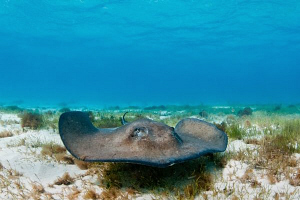 Southern Stingray (natural light image) by Paul Colley