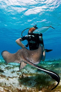Southern Stingray, Jack and diver at Stingray city by Paul Colley