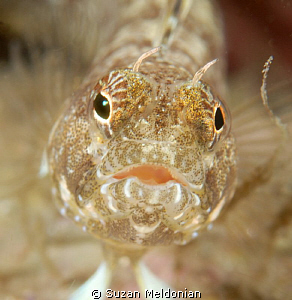female sailfin blenny close up by Suzan Meldonian