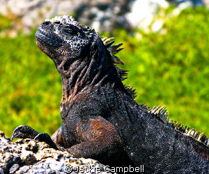 Warming up. Marine Iguana warms up in the morning sunshi... by Jackie Campbell