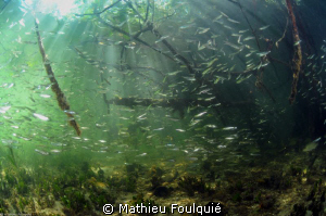 Mangrove in Morrocoy_Venezuela by Mathieu Foulquié