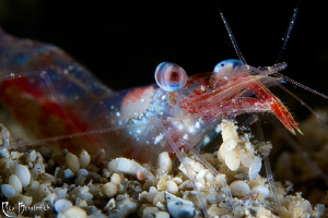 """Eye to eye"" . This shrimp was around 2 cm. small. 60mm m... by Rico Besserdich"