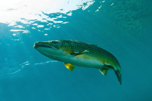 A Brown Trout in Capernwray Lake by Paul Colley