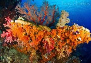 Soft corals near Misool, Raja Ampat by Tony Cherbas