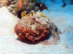 Scorpion fish near Cayman Brac. If the fish doesn't move ... by Robert Michaelson