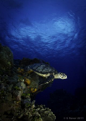 Hawksbill Turtle (Eretmochelys imbriocota) Olympus E-PL1... by Shawn Rener
