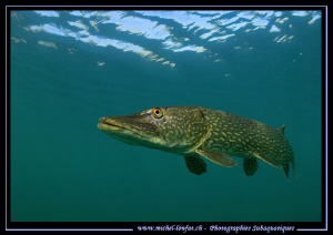 King Pike Fish in his pound... Que du bonheur... :O)... by Michel Lonfat
