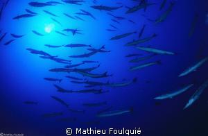 deep barracudas by Mathieu Foulquié
