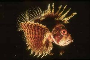 Short fin lion fish Hurghada by Hossam M. Nasef