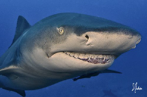 The Lemon Sharks cant help but to grin at our arrival on ... by Steven Anderson